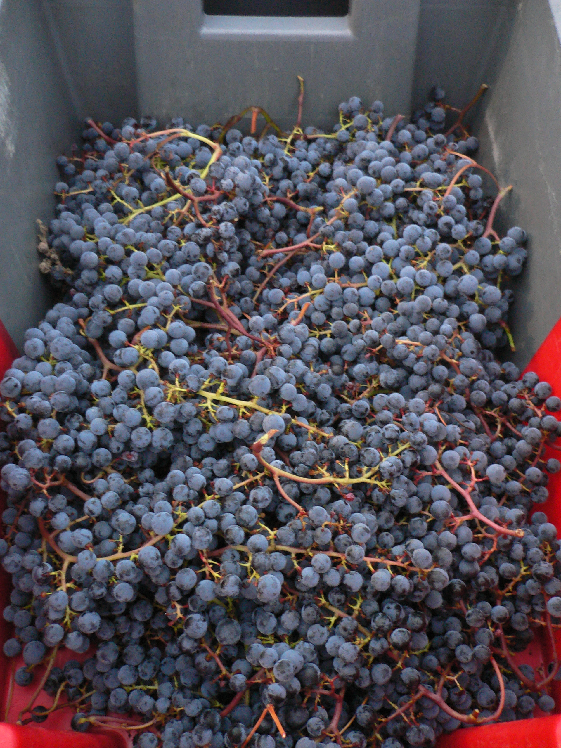 2010 Bordeaux grapes is sorter