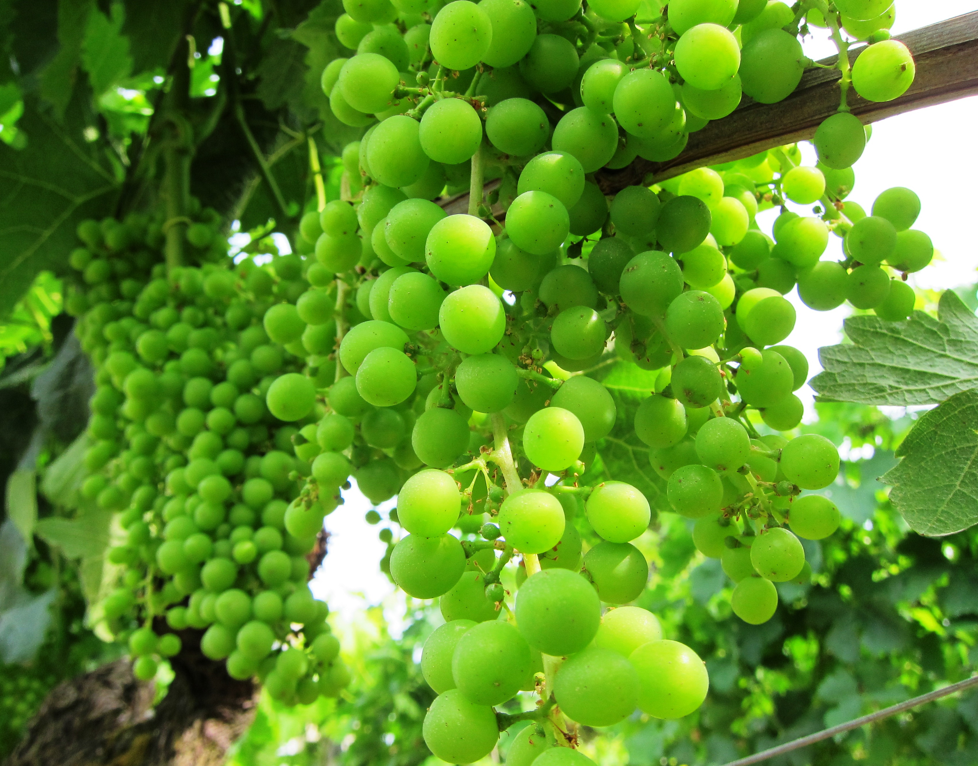 Bordeaux wine grapes