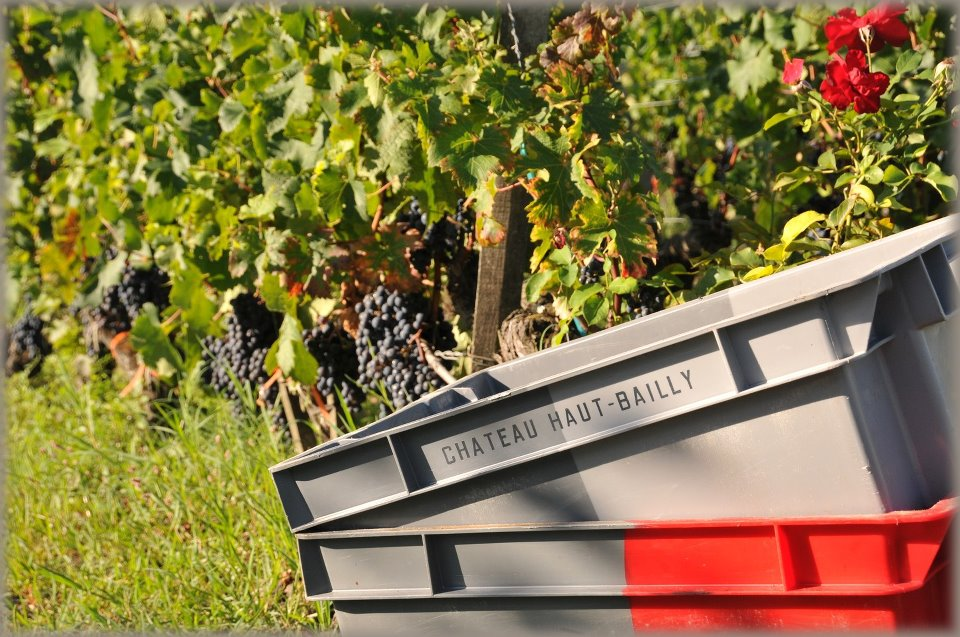 Haut Bailly 2011 Harvest