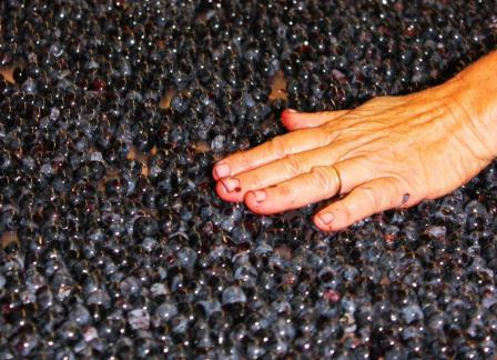2011 Bordeaux Harvest Grapes Hands