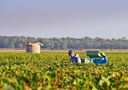 2012 Bordeaux harvest grape picking